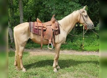 Tennessee walking horse, Mare, 15 years, 15.1 hh, Palomino