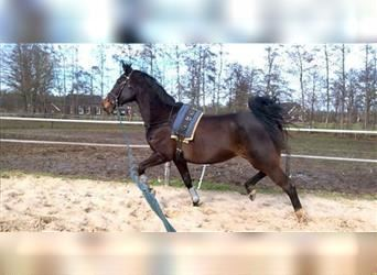 KWPN, Mare, 15 years, 16.3 hh, Brown