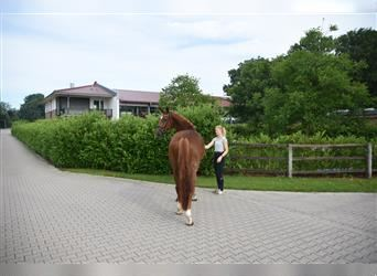 Hanoverian, Mare, 4 years, 16.3 hh, Chestnut-Red