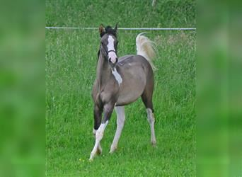 Paint Horse, Stallion, Foal (07/2021), 15 hh, Tobiano-all-colors