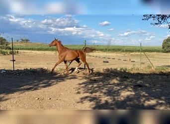 Anglo-Arab, Gelding, 5 years, 16.2 hh, Chestnut-Red