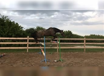 French Trotter, Mare, 12 years, Bay-Dark