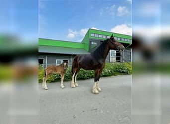Shire Horse, Mare, 6 years, 18.1 hh, Brown