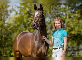 Welsh D (Cob), Mare, 6 years, 14.2 hh, Brown
