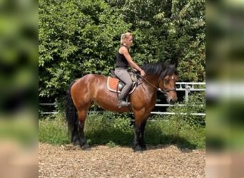 Other Heavy Horses Mix, Mare, 4 years, 15.2 hh, Brown