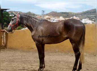 Andalusian, Gelding, 4 years, 15.3 hh, Brown Falb mold