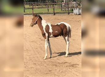 NRPS, Mare, Foal (05/2021), 12.2 hh, Tobiano-all-colors