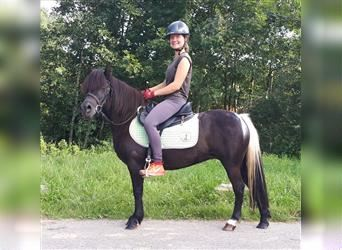 Shetland Ponies, Mare, 6 years, 11.2 hh, Pinto