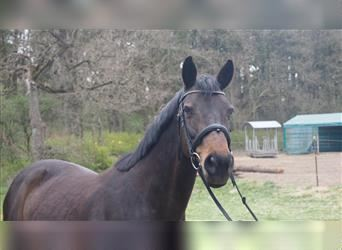 Small German riding horse, Mare, 16 years, 15.3 hh, Bay-Dark