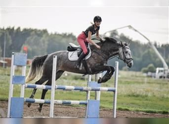 Other Thoroughbreds, Mare, 5 years, 16.1 hh, Gray