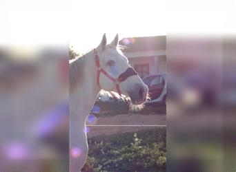 Portuguese Sport Horse, Gelding, 13 years, 15.2 hh, Gray