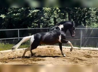 Andalusian Mix, Gelding, 3 years, 15.2 hh