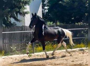 Andalusier Mix, Wallach, 3 Jahre, 160 cm