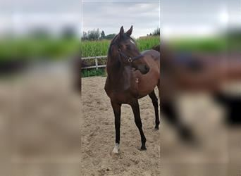 Anglo European Studbook, Mare, 2 years