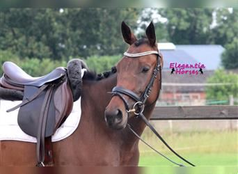 French riding pony, Mare, 4 years, 15.2 hh, Brown