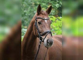 German Sport Horse, Mare, 7 years, 16.1 hh, Chestnut-Red