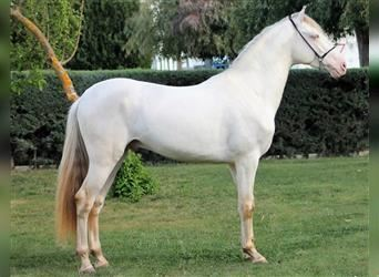 Andalusian Mix, Stallion, 3 years, 15.2 hh, Cremello