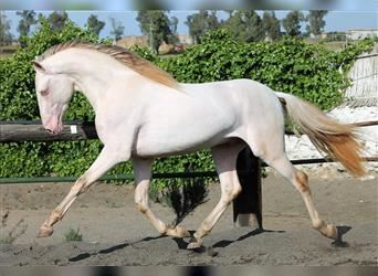 Andalusier Mix, Hengst, 3 Jahre, 159 cm, Cremello