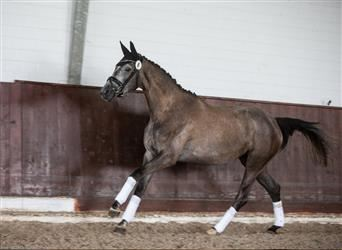 Trakehner, Mare, 3 years, 16.2 hh, Gray