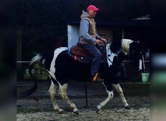 Paint Horse, Hengst, 10 Jahre, 152 cm, Tobiano-alle-Farben