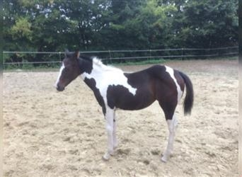 Paint Horse, Stallion, 10 years, 14.3 hh, Tobiano-all-colors