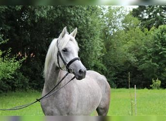 Straight Egyptian, Mare, 4 years, 14.2 hh, Gray