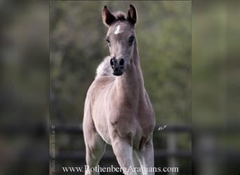 Straight Egyptian, Mare, Foal (03/2021), 15 hh, Black