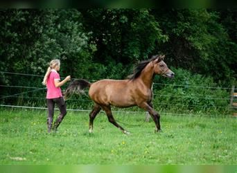 Straight Egyptian, Stallion, 2 years, 15.2 hh, Can be white