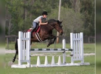 American Quarter Horse, Mare, 17 years, 14.1 hh, Bay