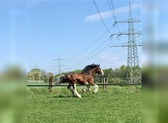 Clydesdale, Gelding, 6 years, 17.2 hh, Brown