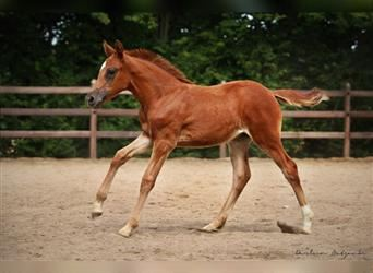 German Riding Pony, Mare, 2 years, Chestnut-Red