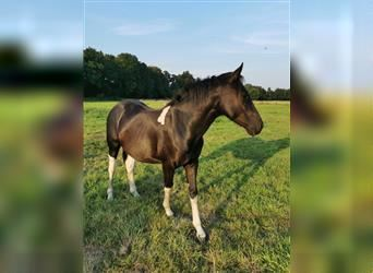 Paint Horse Mix, Gelding, 2 years, 14.1 hh, Pinto