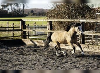 Welsh A (Mountain Pony), Stallion, 4 years, 11.2 hh, Dun
