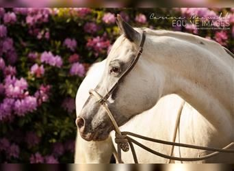 Pony of the Americas, Stallion, Foal (05/2021), 14.1 hh, Chestnut-Red