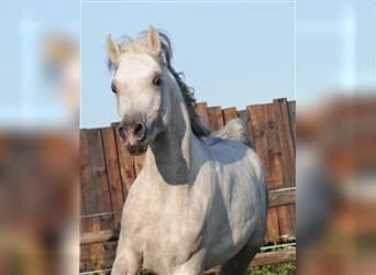 Straight Egyptian, Mare, 10 years, 14.3 hh, Gray