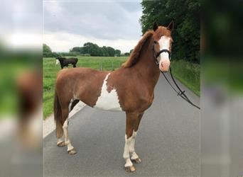 Hackney Pony, Mare, 5 years, 14.1 hh, Chestnut-Red
