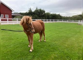 Icelandic Horse, Mare, 4 years, 13.3 hh, Chestnut-Red