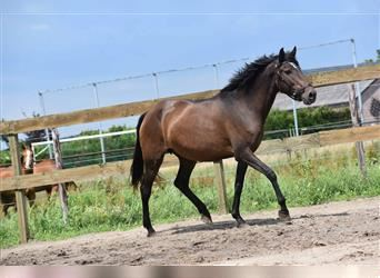 Other Breeds, Mare, 8 years, 15.2 hh, Brown