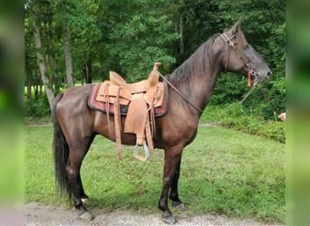 Tennessee Walking Horse, Castrone, 8 Anni, 157 cm