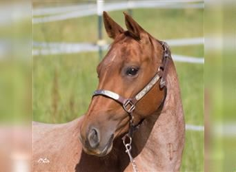 American Quarter Horse, Mare, 7 years, 14.3 hh, Roan-Red