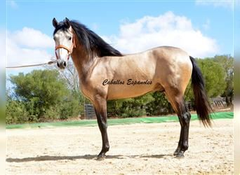 Andalusian, Stallion, 2 years, 15.1 hh, Can be white