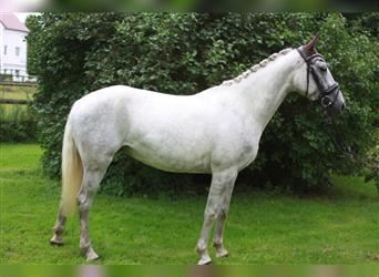 Hungarian Sport Horse, Mare, 6 years, 15 hh, Gray