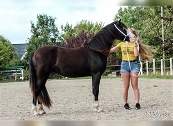 Welsh C (of Cob Type), Mare, 3 years, 13.1 hh, Black