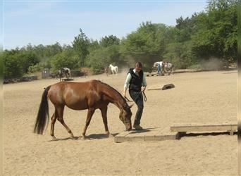 Appaloosa, Mare, 6 years, 15 hh, Chestnut-Red