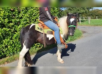 Gypsy Horse, Gelding, 4 years, 12.1 hh, Pinto