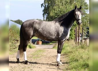 Andalusian Mix, Mare, 5 years, 15.1 hh, Gray-Dapple