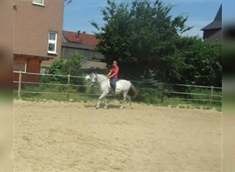 More ponies/small horses, Mare, 12 years, 14.2 hh, Gray-Fleabitten