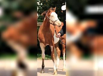 Paint Horse, Stallion, Foal (04/2021), 14.3 hh, Overo-all-colors
