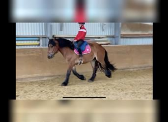 Ardennes, Mare, 3 years, 15.2 hh, Brown