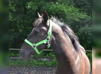 New Forest Pony, Wallach, 2 Jahre, 143 cm, Rappe